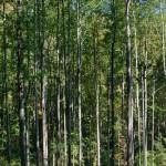 lot 60 NE view of poplars